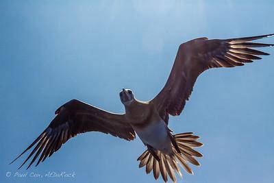 Boobie Bird
