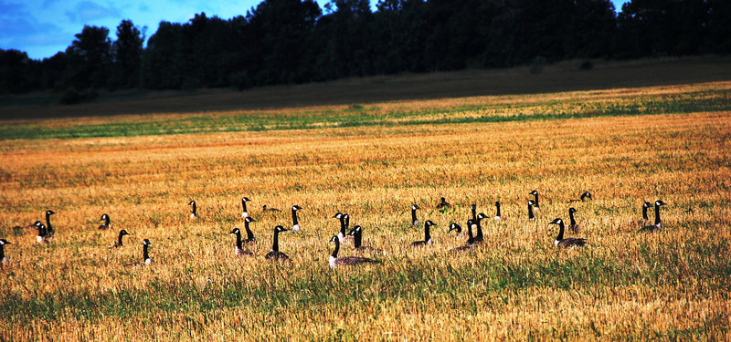 Wolf Island - geese in a field