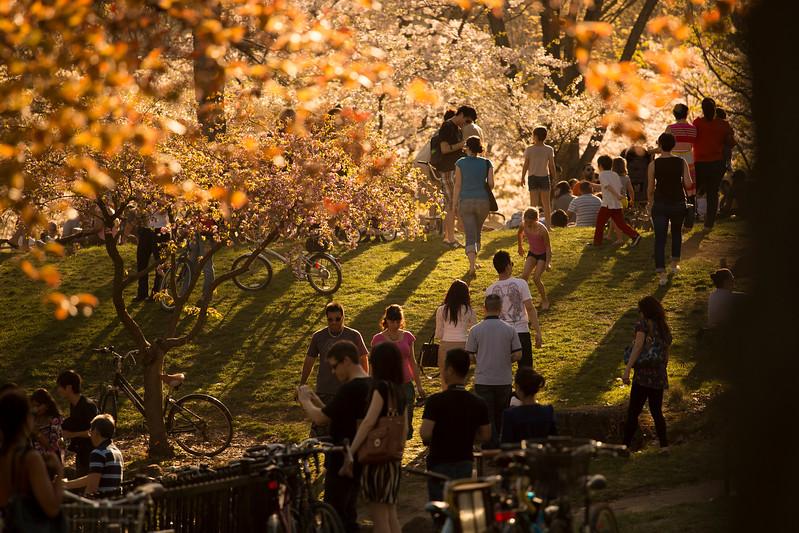 Under the Sakura Trees