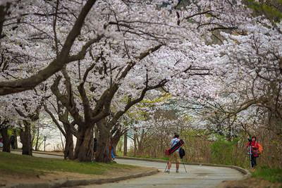 Sakura in High Park