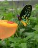Malachite Feeding