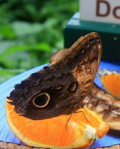 Owl Butterfly on Orange.JPG