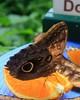 Owl Butterfly on Orange