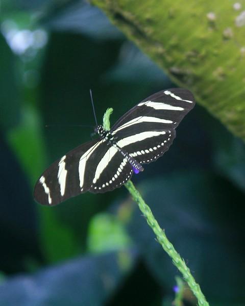 Zebra Longwing on Stem
