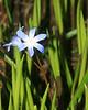 Star of Blue