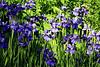 Siberian Irises #1