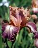 German Irises #7
