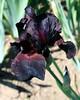 German Irises #3