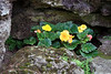 Begonias in a Crevice