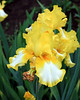 German Irises #16