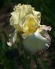 German Irises #8