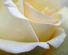 Detail of Rose