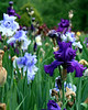 German Irises #17