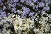 Blue and White Phlox