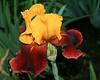 German Irises #11