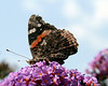 Butterfly on a Buddleia