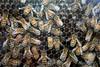 St  Jacob's Market - Bees