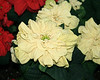 Ivory Rose-Shaped Pointsettia