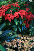 Pointsettia Arrangement