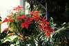 Hanging Basket with Pointsettias