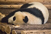 Panda Cub 1
