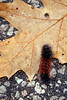 Wooly Bear Caterpillar on Oak Leaf