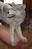 Stuffed Wolf #1