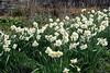 Creamy Daffodils