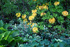 Yellow Rhododendrons