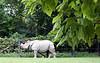 Indian Rhino #1