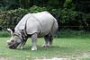 Indian Rhino #3