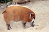 Red River Hog #2