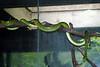 Green Rat Snake on Branch