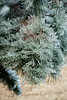 Heavily Coated Pine