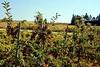 Ocala Vineyards #3