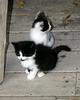 Kleinburg - Kittens #2