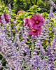 Russian Sage and Swamp Mallow