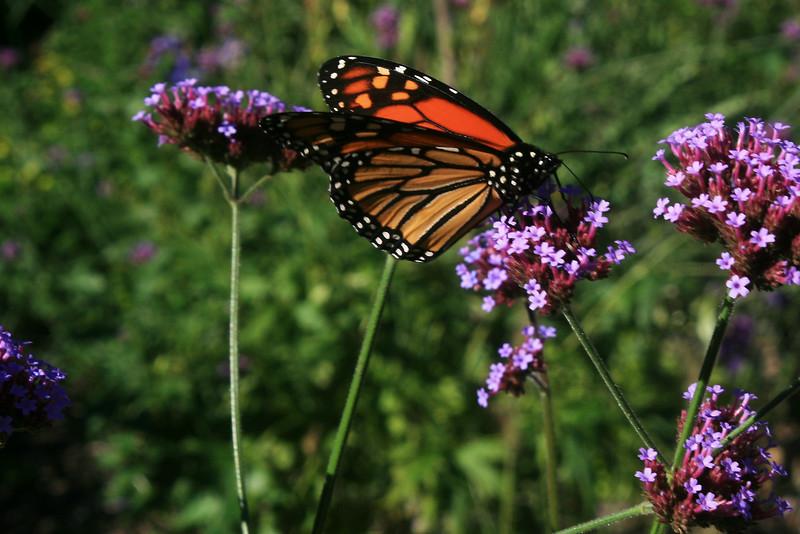 Monarch #3