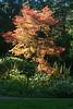 Backlit Red Maple