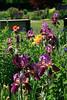 High Park Magenta Irises