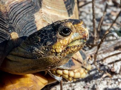 20190814 Angulate Tortoise (Chersina angulata) from Table View, Western Cape