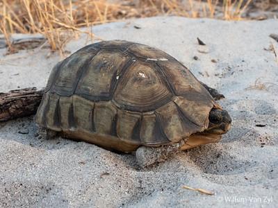 20181201 Angulate Tortoise (Chersina angulata)