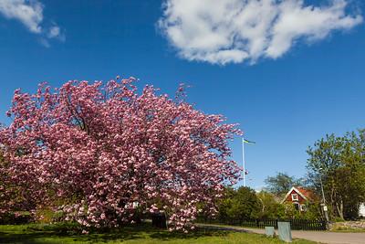 The big cherry tree i Tosteberga, May 12 , 15:32