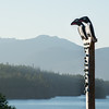 Two Murry Ducks on a pole with clams.  Klawock (Prince of Wales Island), AK
