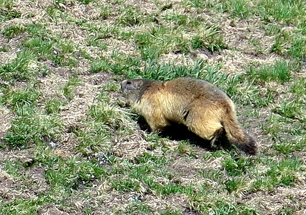 A Marmot scuttles over the path