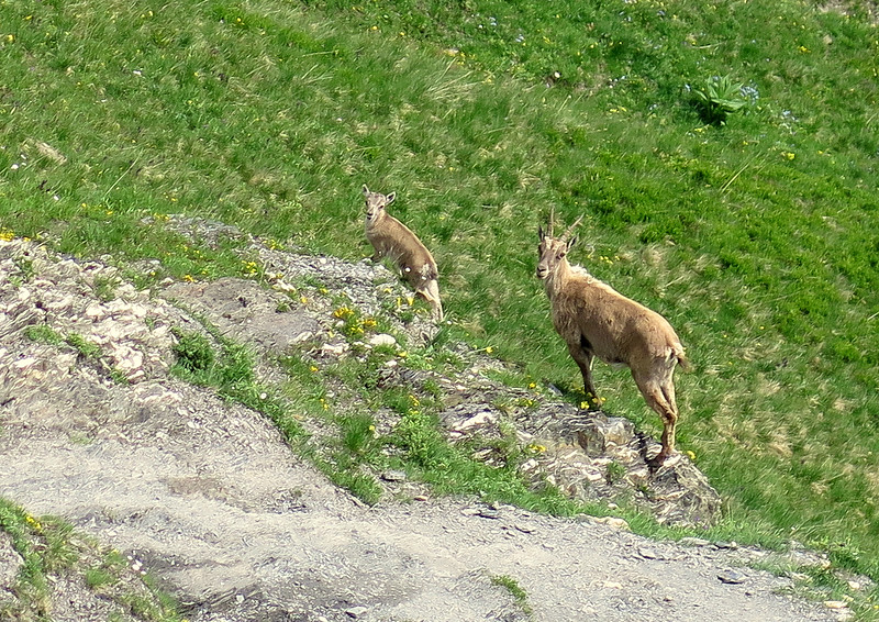 These two Ibex were quite confident as we walked by