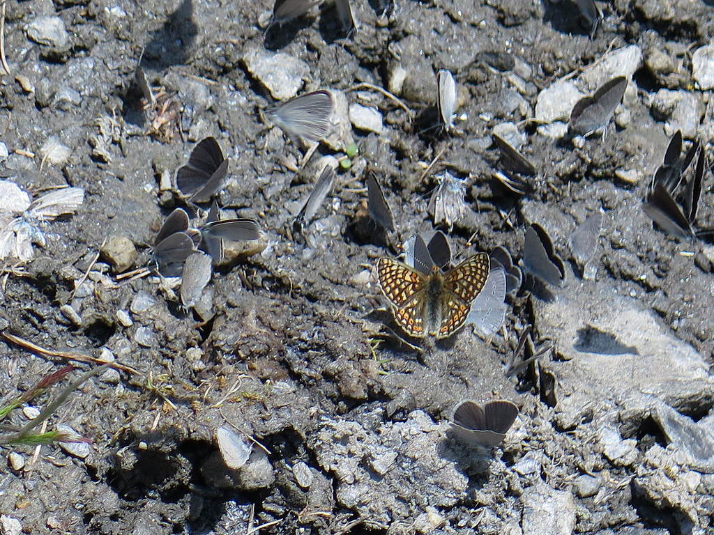 I saw this a few times - many slate grey butterflies congregating on damp ground but a much larger orange/brown butterfly with them
