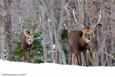 Ezo Deer