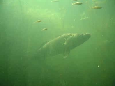 Wildgarten Furth Nein, das ist nicht eine Unterwasseraufnahme von einem der Prachtexemplare im Hammersee, sondern durch die Glaswand der Unterwasserbeobachtungsstation im Wildgarten in Furth im Wald fotografiert. Dort sieht man in einen ziemlich großen Teich hinein. Der Wildgarten in Furth gehört zu unseren Top-10 Zielen.