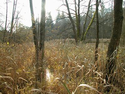 Schilflandschaft Nähe Steg Weichselbrunner Weiher Nähe Rechen-Quelle. Sieht hier im November etwas unübersichtlich aus - ist aber im Sommer mit viel Grün sehr schön - und noch unübersichtlicher.